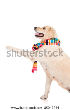 dog wearing a scarf gives paw - stock photo