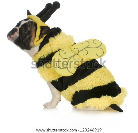 dog wearing bee costume - french bulldog dressed up like a bumble bee on white background - stock photo