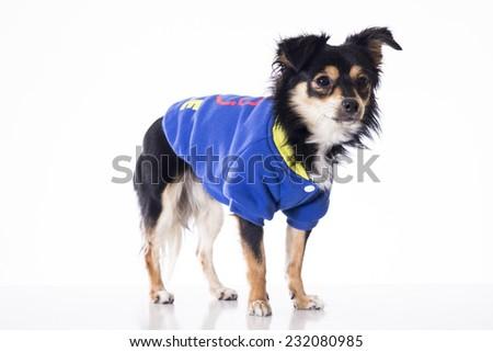 Dog wearing blue jersey looking something - stock photo