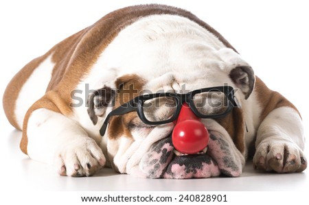dog wearing clown glasses on white background - english bulldog - stock photo