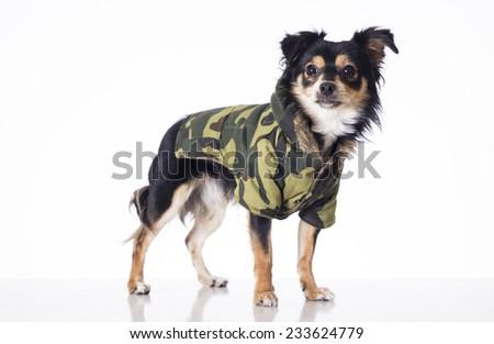 Dog wearing military jersey - stock photo