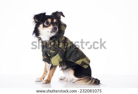Dog wearing military jersey looking something - stock photo