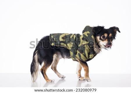 Dog wearing military jersey walking cautiously - stock photo