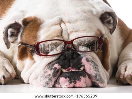 dog wearing reading glasses on white background - english bulldog - stock photo