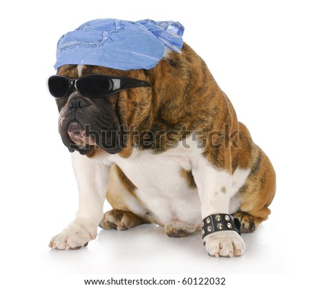dog wearing skull cap and cool sunglasses with reflection on white background - stock photo