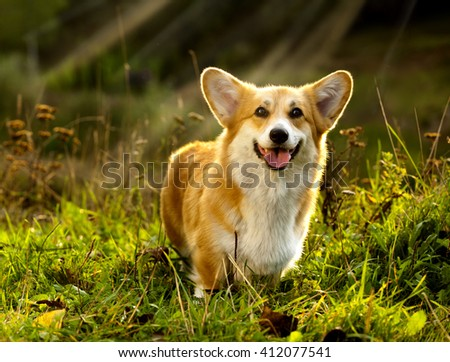 dog Welsh Corgi Pembroke on the grass in summer sunny day - stock photo