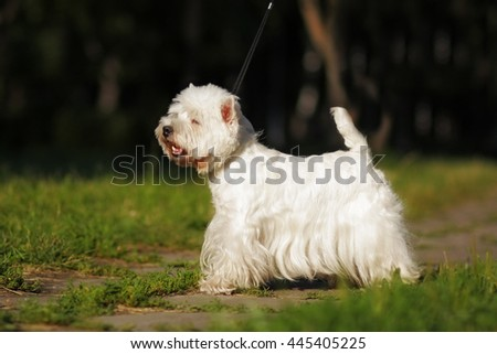dog West highland white Terrier standing in show position in the summer on the lawn in the Park on a leash - stock photo