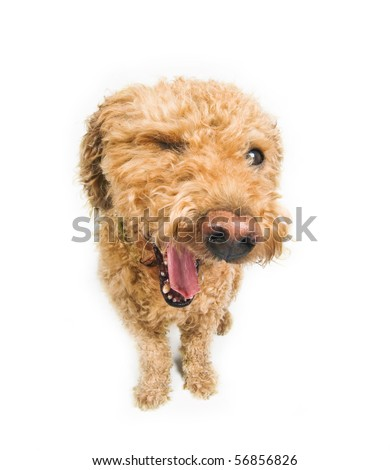 Dog winking at you. (spanish waterdog breed) - stock photo