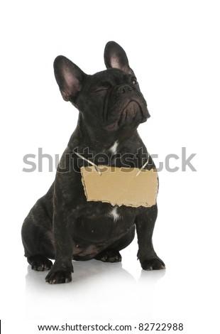 dog winking - french bulldog winking while wearing cardboard sign around neck on white background - stock photo