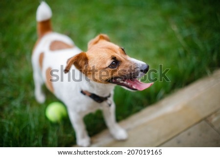 dog with a ball on the grass
