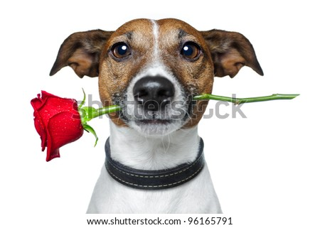 dog with a red rose - stock photo