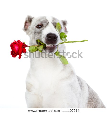 dog with a red rose. isolated on white background