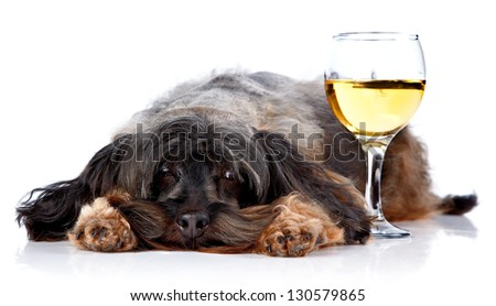 Dog with a wine glass. Small doggie. Decorative thoroughbred dog. Puppy of the Petersburg orchid. Shaggy doggie. - stock photo