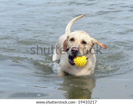 Dog with ball in teeth runs on water - stock photo