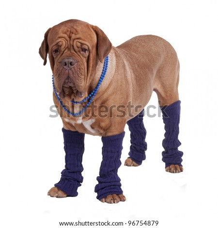 Dog with beads and leg warmers isolated - stock photo
