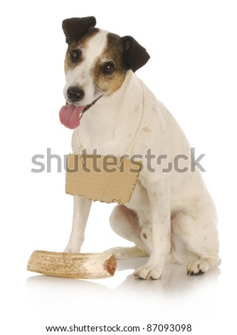 dog with bone - jack russel terrier wearing blank sign around neck sitting in front of dog bone - stock photo