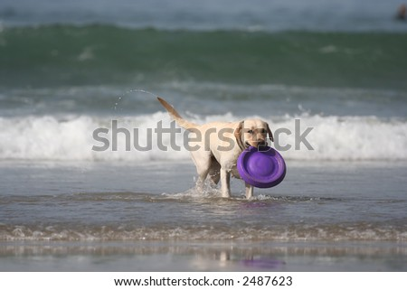dog with disc in the sea - stock photo