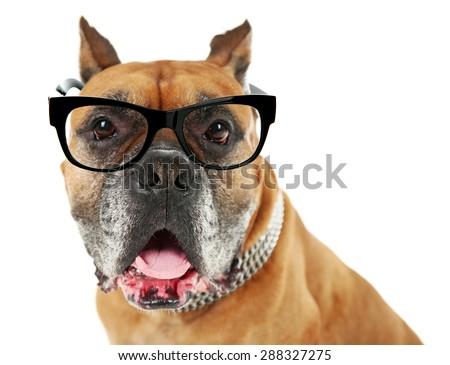 Dog with eyeglasses isolated on white - stock photo