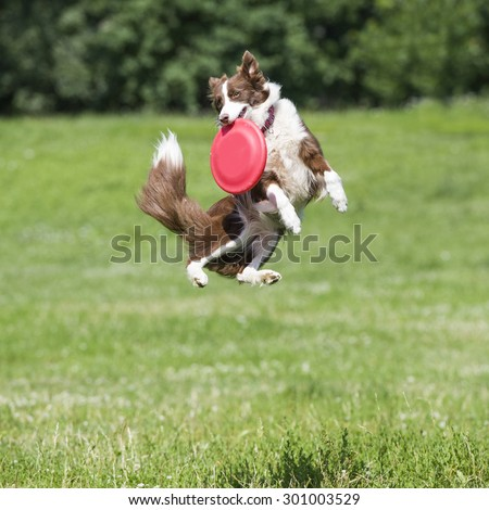 Dog with flying disk