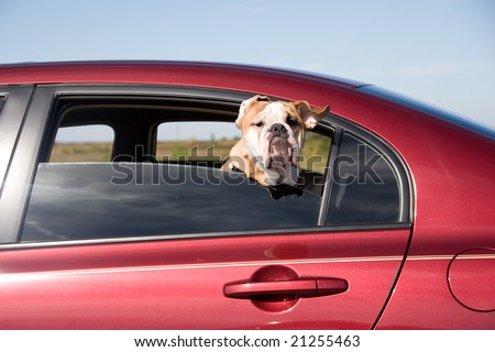 Dog with Head out Window moving Car motion - stock photo