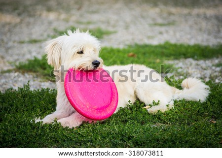 Dog with his Pink disc in the park - stock photo