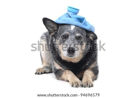 dog with ice pack on head