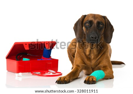 Dog with injured paw - stock photo