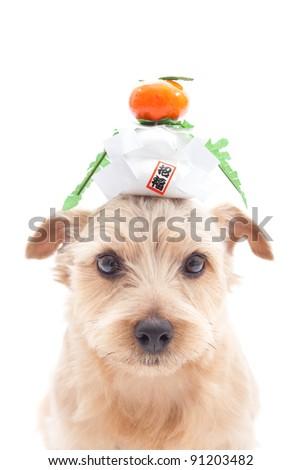 dog with Japanese New Year decoration Kagami mochi - stock photo