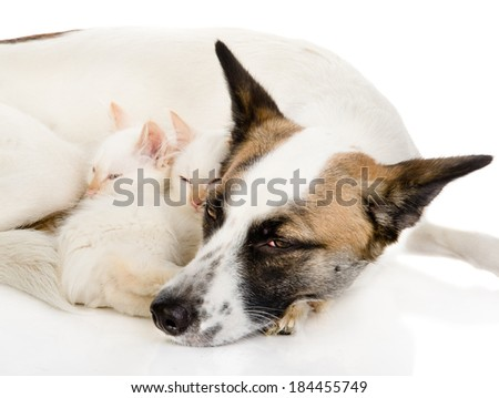 dog with kittens sleeping together. isolated on white background - stock photo