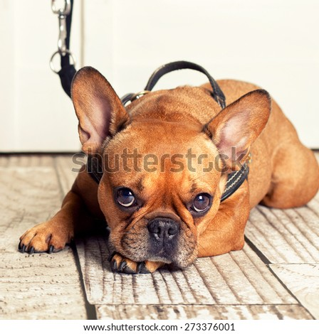 dog with leather leash waiting to go walkies - stock photo