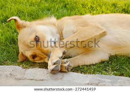 Dog with orange reddish fur lying in the grass