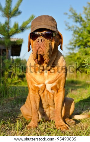 Dog with peaked cap and sunglasses sitting in the garden - stock photo