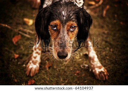 Dog with piercing eyes portrait - stock photo