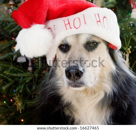 Dog with Santa hat square format