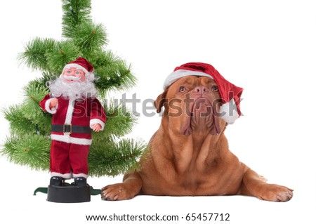 Dog with Santa's cap lying next to a Christmas tree and Santa toy - stock photo