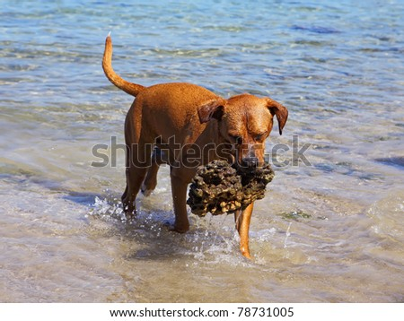 dog  with stone in mouth at the beach - stock photo