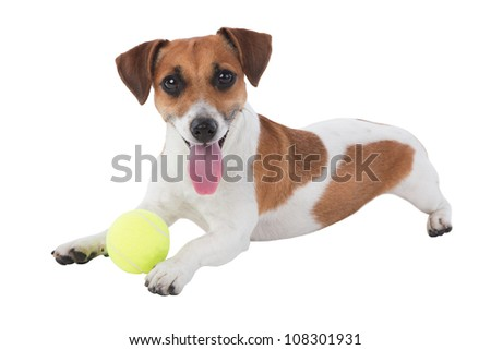 Dog with toy. Jack Russell terrier with tennis ball isolated on white background. Studio shot - stock photo