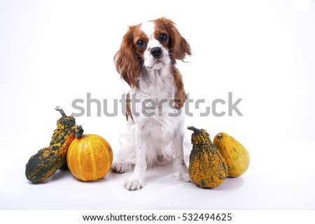 Dog with vegetables. Pumpkins with Cavalier king charles spaniel dog. Trained pet photos in studio to illustrate your work. Show dog.