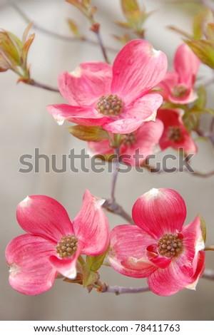 Dog wood flowers - stock photo