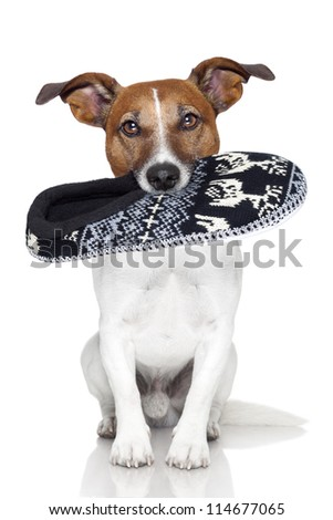 dog  wool slipper in mouth - stock photo
