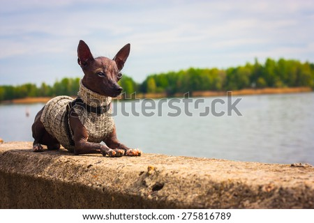 Dog Xoloitzcuintle breed puppy 11 months. Lying on the parapet, on the background of the Dnieper River, opposite the island. Apply tone filter. Ukraine. - stock photo