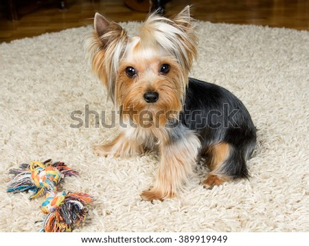 Dog yorkshire terrier is playing with a toy on the carpet - stock photo
