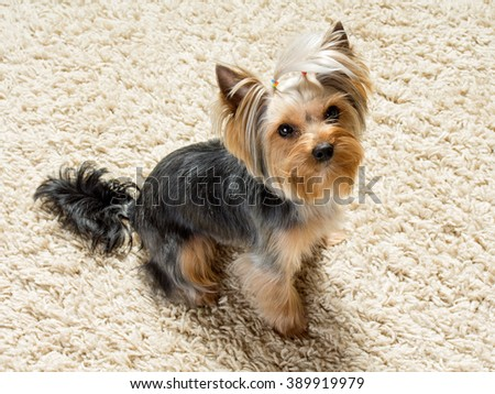 Dog yorkshire terrier is sitting on the carpet - stock photo