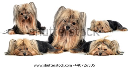 Dog yorkshire terrier isolated on white - stock photo