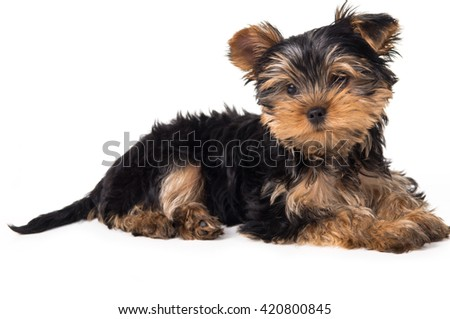 Dog Yorkshire terrier lying isolated - stock photo