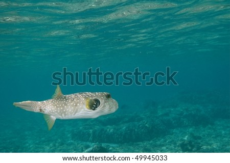 dogfaced pufferfish