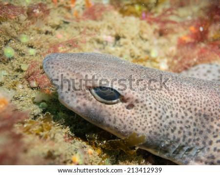Dogfish in the atlantic ocean - stock photo