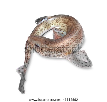 Dogfish isolated on white