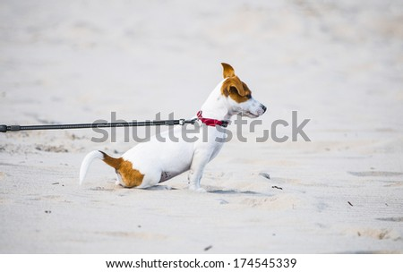 Doggy on leash on a beach - stock photo