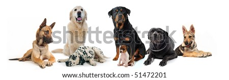 dogs and puppies sitting and lying down on a white background - stock photo